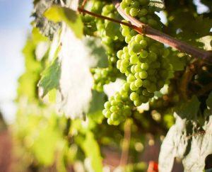 Weinstock weiß im Sonnenlicht